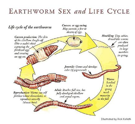 How do worms reproduce sexually or asexually